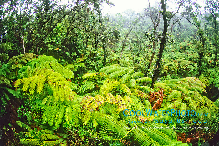 native tropical rainforest of tree fern, Hapu'u, Cibotium sp., and 'Ohi'a Lehua, Metrosideros polymorpha, Hawaii Volcanoes National Park, Kilauea, Big Island, Hawaii, USA