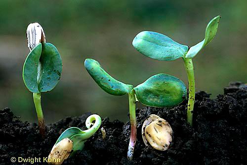 HS13-073d  Sunflower- seedlings germinating, emerging from soil -  Helianthus spp
