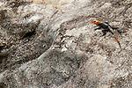 Red-headed Rock Agama (Agama agama) male, Lope National Park, Gabon