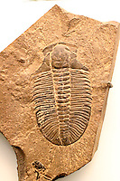 FOSSILS<br /> Trilobite Fossil,  In Fossilized Sandstone<br /> Phacops rana. Extinct marine arthropods used as index fossils for the early Paleozoic Era- Cambrian &amp; Ordovician periods.  It had a three lobed exoskeleton