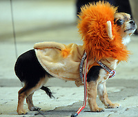 A miniature wears a lion-style hooded top  at the Osaka Pet Expo and fashion show, Osaka, Japan.<br /> 25-Sep-11<br /> <br /> Photo by Richard Jones
