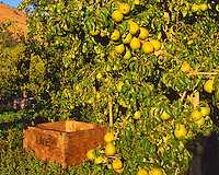 Pears and bin in late eveing light in Hood River Valley in Hood River County, Oregon