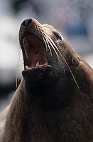Steller's Sea Lion, Eumetopias jubatus, male yawning, Homer, Alaska, USA, March 2000