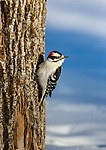 Male downy woodpecker in northern Wisconsin.