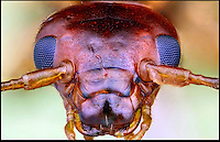 BNPS.co.uk (01202) 558833<br /> Picture: Francis Prior<br /> <br /> Earwig<br /> <br /> Young photographer Francis Prior has found photographic success using the most unlikely of models - dead bugs he found in his parents' house. The 19-year-old amateur photographer uses a macro lens to capture the smallest of details invisible to the human eye. After rounding up dead spiders, flies and beetles from every corner of his parents' home in Halewood, Liverpool, Francis sets them up in his insect studio. The incredible images can feature up to 100 shots layered on top of one another - and each one takes up to six hours to produce.