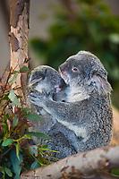 Koala mom and baby