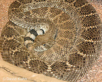 0516-1103  Western Diamondback Rattlesnake, Texas Diamond-back, Crotalus atrox  © David Kuhn/Dwight Kuhn Photography
