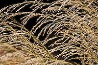Panicum virgatum 'Dallas'Blues' switchgrass, pendulous seed head, ornamental grass, backlit
