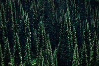 Subalpine Fir trees. Mt Rainier National Park, WA
