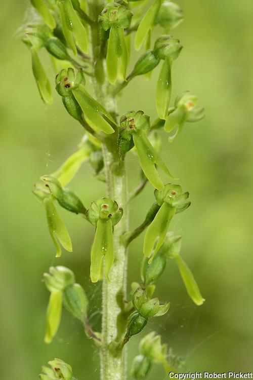Common Twayblade, Neottia ovata, Monkton Nature Reserve, Kent UK