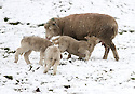 09/02/13 ..Lambs in the snow near Flagg in Derbyshire....All Rights Reserved - F Stop Press.  www.fstoppress.com. Tel: +44 (0)1335 300098.