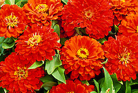 Orange Zinnias with Dahlia form flowers a Dreamland Hybrid from Park seed co.