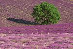 Oak and Lavender fields, Sault region, Provence, France