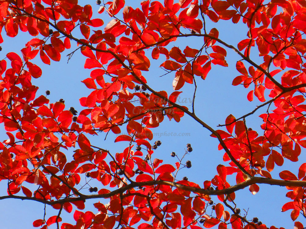 fall foliage red Crepe-myrtle