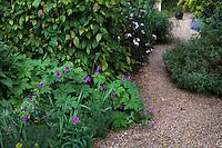 Geranium psilostemon by gravel path and hornbeam hedge in Gary Ratway garden