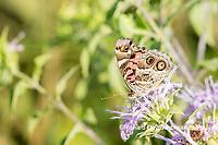 03405-00516 American Lady (Vanessa virginiensis) on Wild Bergamot (Monarda fistulosa) Marion Co. IL