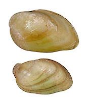 Marbled Crenella - Modiolarca tumida