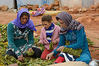 LEBANON Deir el Ahmad, camp for syrian refugees, women and children work as saisonal worker, tobacco harvest and drying / LIBANON Deir el Ahmad, Camp fuer syrische Fluechtlinge am Dorfrand, Frauen und Kinder arbeiten als Erntehelfer, Tabakernte und Trocknung, links Najah Mansour, mitte , Mädchen Rasha, 13 Jahre