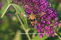 04005-00302 Snowberry Clearwing (Hemaris diffinis)  on Butterfly Bush (Buddleia davidii) Marion Co.  IL