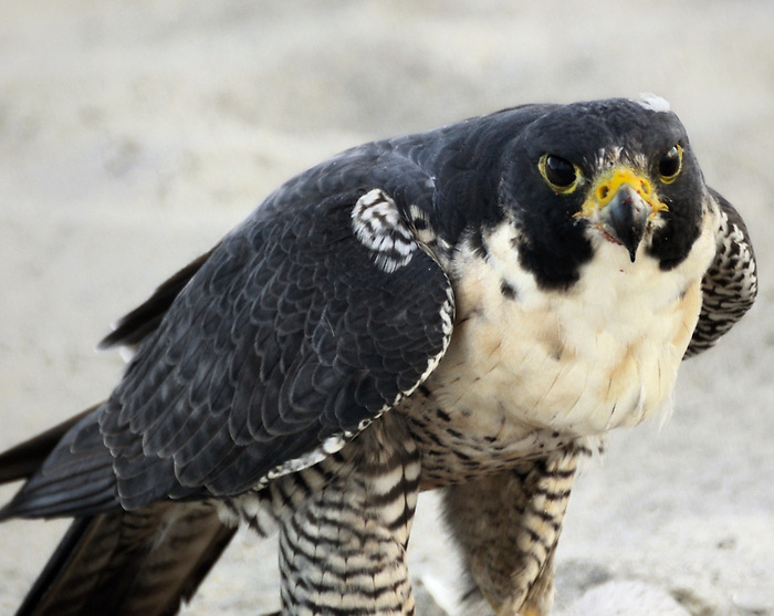 Peregrine Falcon on the beach at Cocoa Beach Florida