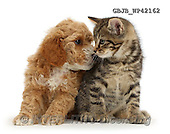 Kim, ANIMALS, REALISTISCHE TIERE, ANIMALES REALISTICOS, fondless, photos,+Cockapoo puppy looking lovingly at tabby kitten,++++,GBJBWP42162,#a#