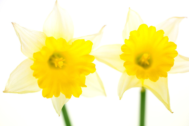 Two yellow daffodils on white background. De-focused