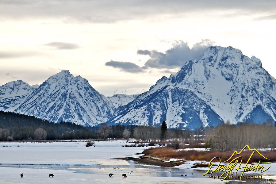 Grizzly 610 and cubs foraging on the rotton is of Oxbow Bend in Grand Teton National Park