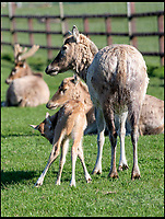 BNPS.co.uk (01202 558833)<br /> Pic: IanTurner/BNPS<br /> <br /> Back from the dead - Pere David (Elaphurus davidianus) deer calf born at Longleat.<br /> <br /> Staff at the Wiltshire Safari park are celebrating after a calf was born to a super rare species of deer that was extinct in the wild before a British breeding programme in the 20th century brought them back from the dead.<br /> <br /> In the late 19th century, the world's only herd belonged to Tongzhi, the Emperor of China in his Royal Hunting Garden near Peking (Beijing). In 1895 a flood destroyed its walls and most of the deer escaped and were killed and eaten by starving peasants. <br /> <br /> Following on from that disaster, during the Boxer Rebellion of 1900, the garden was occupied by German troops who shot all the remaining deer, leaving the Père David's extinct in its native China.<br /> <br /> Fortunately the Dukes of Bedford had the only surviving herd at their estate at Woburn Abbey and through very careful husbandry managed to breed enough to reintroduce some to China a few years ago.<br /> <br /> The herd at Longleat now number 16 and are a very rare success story for a breed brought back from the very edge of extinction.