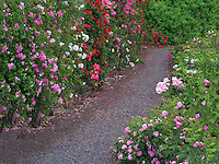 Path through roses. Heirloom Gardens. St. Paul, Oregon