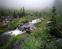 Nurtured by early morning mist, wildflowers bloom along a rocky, rushing creek in an alpine meadow. Upper Paradise River, Mount Rainier National Park, Washington State.....Photographed in 6X7 format on Velvia 50 film.