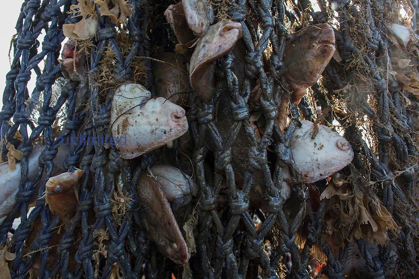 Fish in net of Dutch fishing vessel