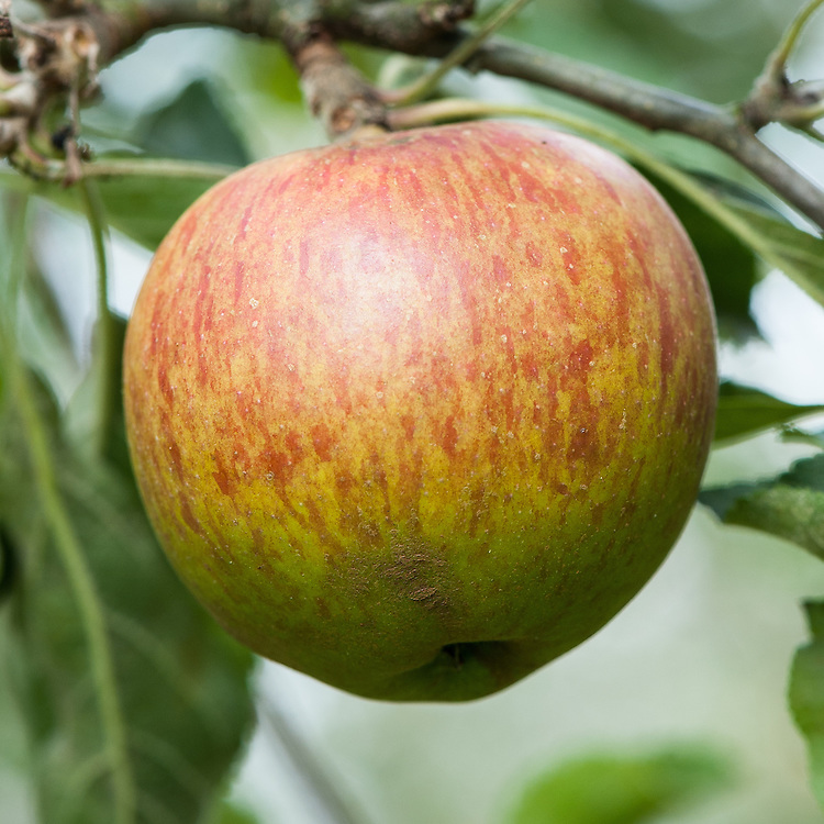 Apple 'Margil', mid September. An English dessert apple, possibly imported from France in the late 17th century. Said to have ben grown by Sir William Temple at Sheen, Surrey. Widespread in Victorian gardens during the 19th century.