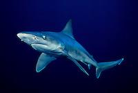 "This sandbar shark, Carcharhinus plumbeus, is displaying the ""classic"" pectoral fins down, aggressive behavior.  Hawaii."