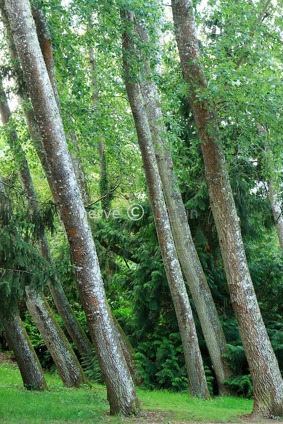 Parc Floral de la Source, peupliers grisards (Populus X canescens), penchés // Grey Poplar (Populus × canescens) tilted.