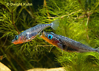 1S17-640z Male Threespine Sticklebacks defending territories, Mating colors showing bright red belly and blue eyes,  Gasterosteus aculeatus,  Hotel Lake British Columbia