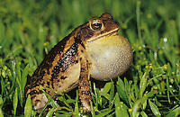 Gulf Coast Toad, Bufo valliceps, male calling at night, Willacy County, Rio Grande Valley, Texas, USA