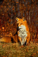 Autumn Red Fox   #W3
