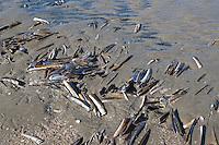 Amerikanische Scheidenmuschel, Gerade Scheidenmuschel, Amerikanische Schwertmuschel, Schale, Muschelschale am Strand, Spülsaum, massenhaft an der Nordsee, Ensis leei, Ensis directus, Ensis americanus, Atlantic jackknife , bamboo clam, American jackknife clam, razor clam