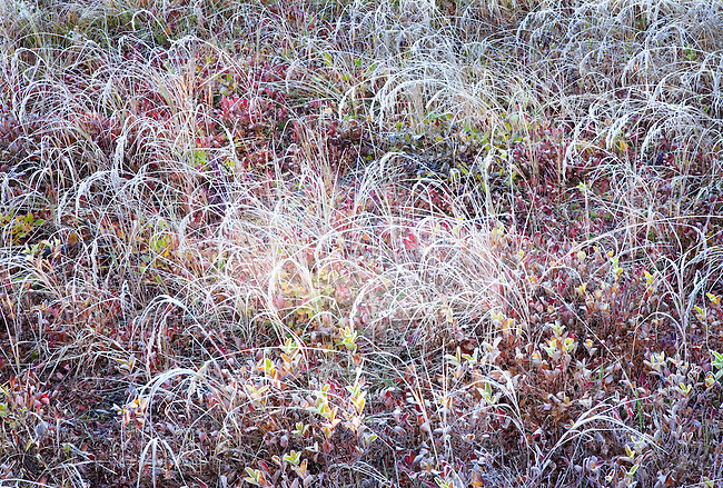 Early Morning Frost on Autumn Meadow Grasses, Mt Rainier National Park