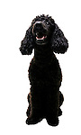 Puppy Standard Poodle