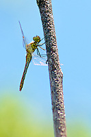 Perched Dragonfly sunning