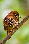 White-whiskered Puffbird<br /> (Malacoptila panamensis) male calling, Mamoni Valley, Panama