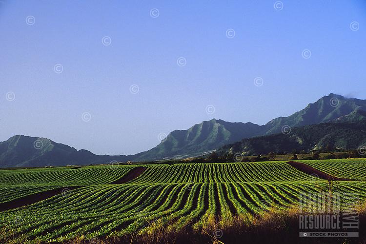 Pineapple field along Oahu's north shore