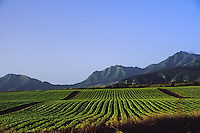 Pineapple field along Oahu's north shore