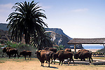 Herd of free roaming Buffalo below Palm Tree at Little Harbor Campground, Catalina Island, California