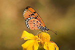 Tawny Coster Butterfly, Acraea terpsicore, Bandhavgarh National Park, orange on yellow flower.India....