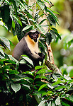 Diana monkey, indigenous to West Africa. (captive)