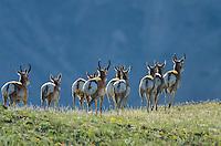 Pronghorn Antelope (Antiloapra americana) herd.  Western U.S., June.
