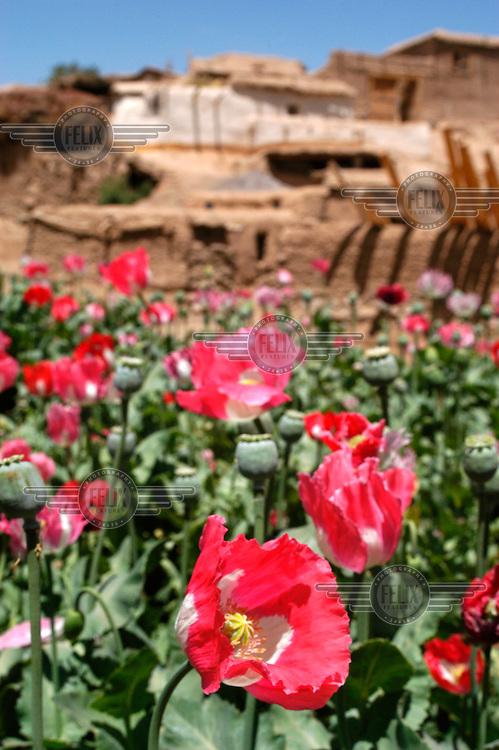 Opium poppy field.