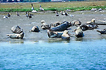 California seals and birds lay in sun on wetland sanctuary in Northern California